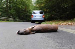 ree op de weg na aanrijding.